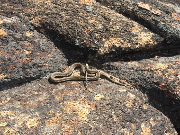 A Garter snake gets some sun